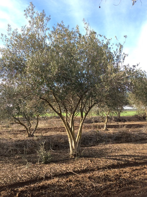 Olives Mature Olea Europaea Olive Trees For Sale Wholesale California