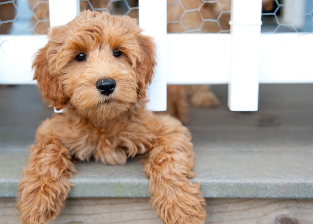 Labradoodle puppy on porch