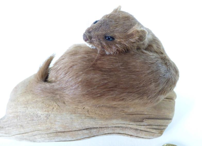 Adrian Johnstone, Professional Taxidermist since 1981. Supplier to private collectors, schools, museums, businesses and the entertainment world. Taxidermy is highly collectable. A taxidermy stuffed adult Weasel (log no:38), in excellent condition.
