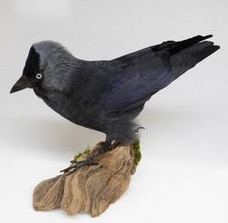 Adrian Johnstone, professional Taxidermist since 1981. Supplier to private collectors, schools, museums, businesses, and the entertainment world. Taxidermy is highly collectable. A taxidermy stuffed Jackdaw (9228), in excellent condition.