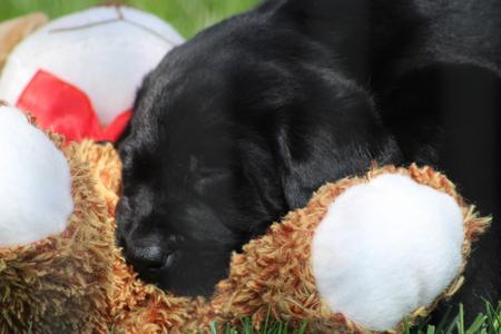 Labrador Puppies Wisconsin - Labrador Puppies Wisconsin