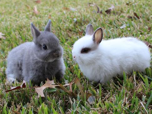 Rabbits Holland Lops, Dwarfs, and Lionheads for sale San Antonio