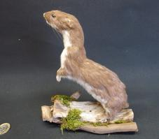 Adrian Johnstone, professional Taxidermist since 1981. Supplier to private collectors, schools, museums, businesses, and the entertainment world. Taxidermy is highly collectible. A taxidermy stuffed Weasel (126), in excellent condition.