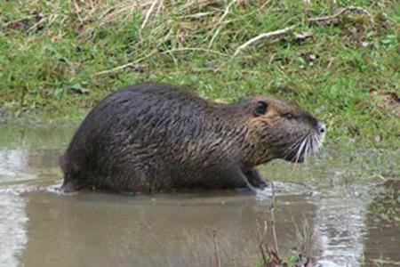 Coypu-in-France