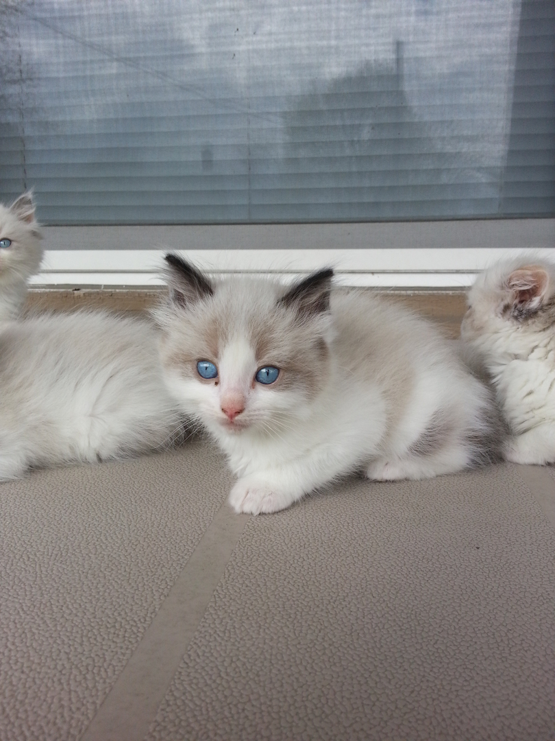 Ragdoll Ridge - ragdoll kittens for sale, ragdoll cats, ragdoll ...