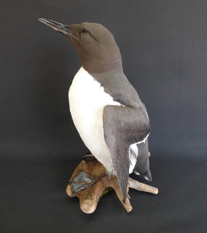 Adrian Johnstone, professional Taxidermist since 1981. Supplier to private collectors, schools, museums, businesses, and the entertainment world. Taxidermy is highly collectible. A taxidermy stuffed Guillemot (9782), in excellent condition.