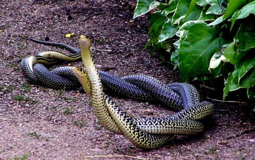 Whip-snakes-mating-in-France