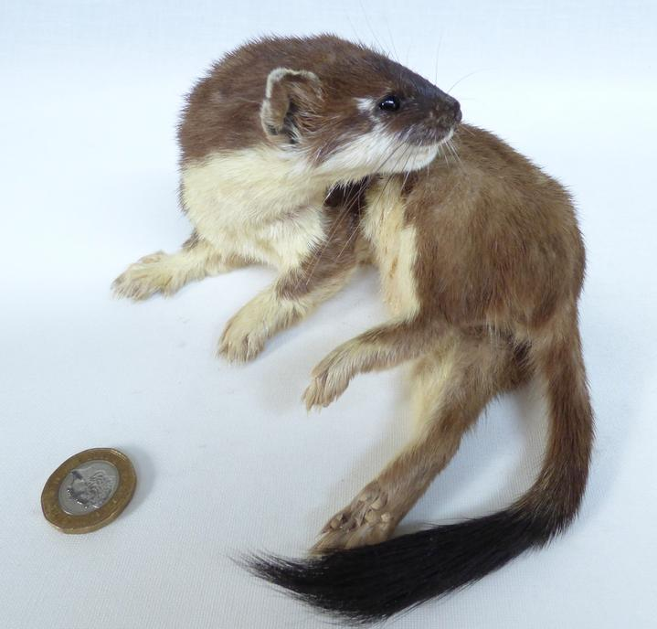 Adrian Johnstone, professional Taxidermist since 1981. Supplier to private collectors, schools, museums, businesses, and the entertainment world. Taxidermy is highly collectible. A taxidermy stuffed Stoat (737), in excellent condition. Mobile: 07745 399515 Email: adrianjohnstone@btinternet.com