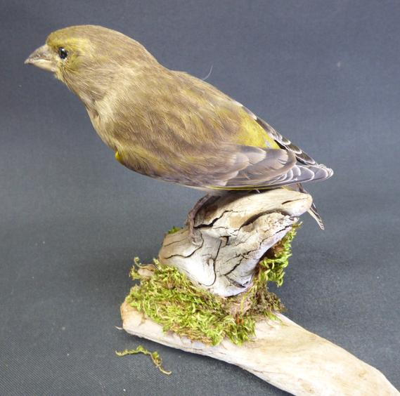 Adrian Johnstone, Professional Taxidermist since 1981. Supplier to private collectors, schools, museums, businesses and the entertainment world. Taxidermy is highly collectible. A taxidermy stuffed Greenfinch (9692), in excellent condition.