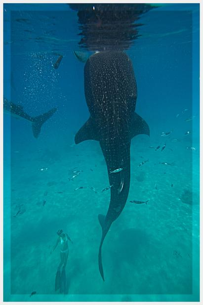 Ocean Ramsey Save The Whale Sharks, Swim With Whale Sharks, Whale Shark Research & Conservation, One Ocean Research