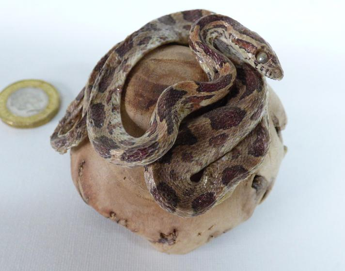 Adrian Johnstone, professional Taxidermist since 1981. Supplier to private collectors, schools, museums, businesses, and the entertainment world. Taxidermy is highly collectible. A taxidermy stuffed Corn Snake (64), in excellent condition.