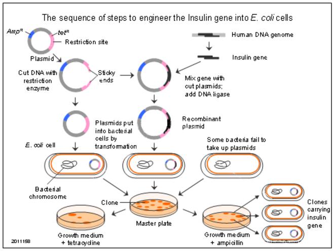 IBWorld me - IB Biology Review Notes - Topic 3 Genetics