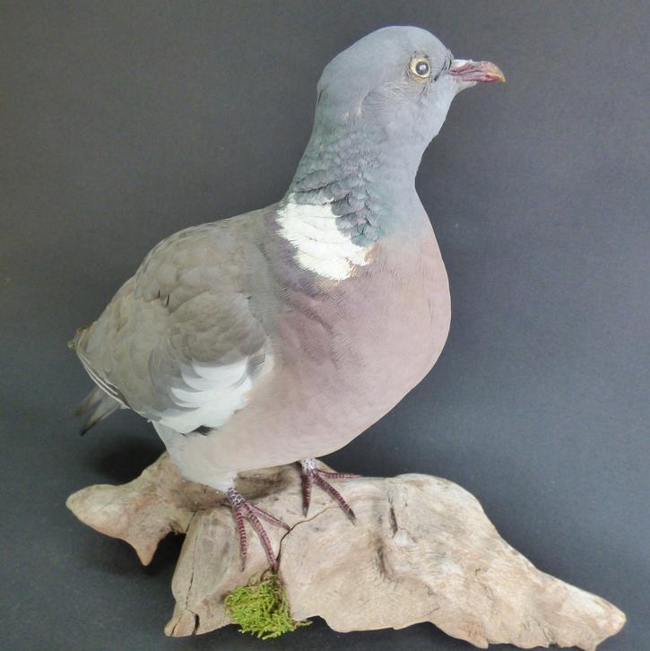 Adrian Johnstone, professional Taxidermist since 1981. Supplier to private collectors, schools, museums, businesses, and the entertainment world. Taxidermy is highly collectable. A taxidermy stuffed adult Wood Pigeon (11), in excellent condition.