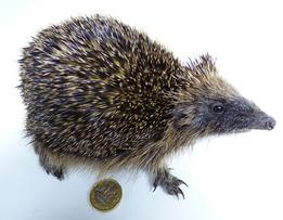 Adrian Johnstone, Professional Taxidermist since 1981. Supplier to private collectors, schools, museums, businesses and the entertainment world. Taxidermy is highly collectable. A taxidermy stuffed Hedgehog (501) in excellent condition.