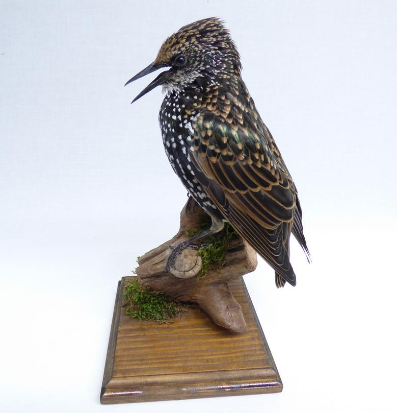Adrian Johnstone, professional Taxidermist since 1981. Supplier to private collectors, schools, museums, businesses, and the entertainment world. Taxidermy is highly collectable. A taxidermy stuffed Starling (582), in excellent condition. Mobile: 07745 399515 Email: adrianjohnstone@btinternet.com