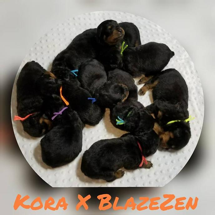 Rottweiler Puppies For Sale Luckyrottweilercom