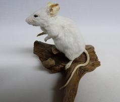 Adrian Johnstone, professional Taxidermist since 1981. Supplier to private collectors, schools, museums, businesses, and the entertainment world. Taxidermy is highly collectable. A taxidermy stuffed White Mouse (16) in excellent condition. Mobile: 07745 399515 Email: adrianjohnstone@btinternet.com