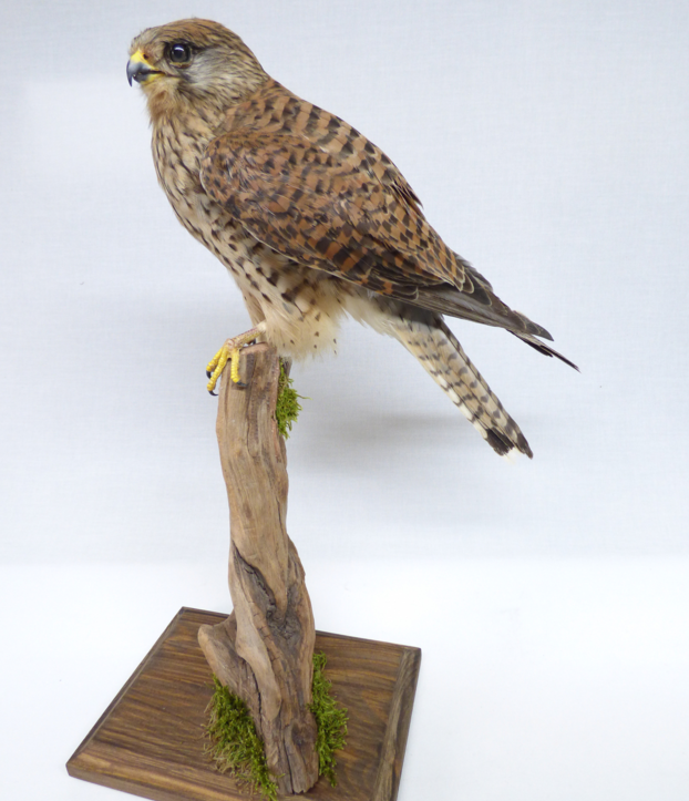 Adrian Johnstone, professional Taxidermist since 1981. Supplier to private collectors, schools, museums, businesses, and the entertainment world. Taxidermy is highly collectable. A taxidermy stuffed Kestrel (9664), in excellent condition.