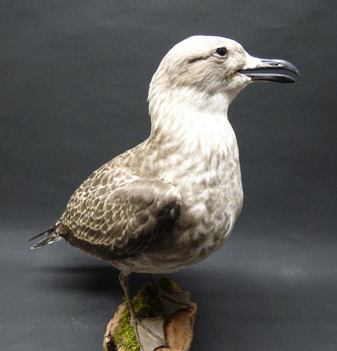 Adrian Johnstone, Professional Taxidermist since 1981. Supplier to private collectors, schools, museums, businesses and the entertainment world. Taxidermy is highly collectable. A taxidermy stuffed Lesser Black Backed Gull (1), in excellent condition.