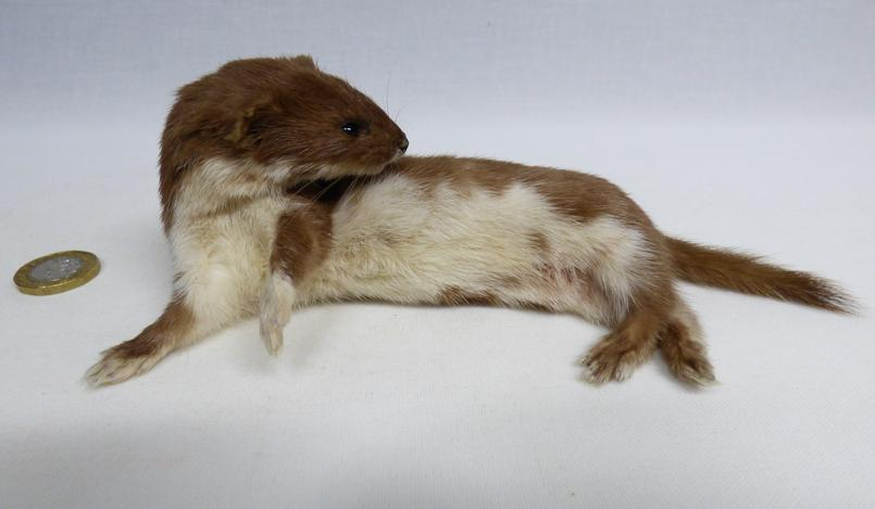 Adrian Johnstone, professional Taxidermist since 1981. Supplier to private collectors, schools, museums, businesses, and the entertainment world. Taxidermy is highly collectable. A taxidermy stuffed Weasel (617) in excellent condition. Mobile: 07745 399515 Email: adrianjohnstone@btinternet.com