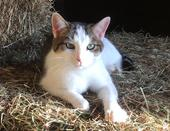 Colby's Army gray and white barn cat