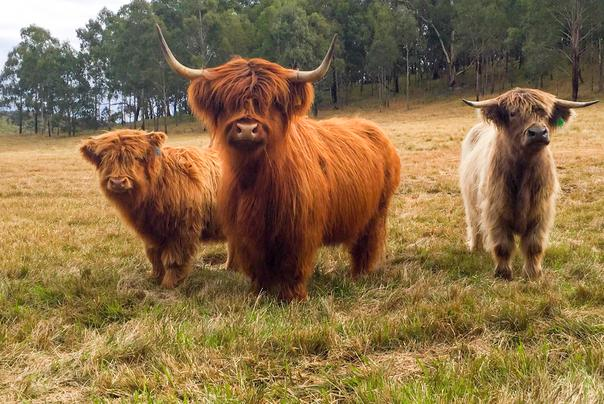 Australian Highland Cattle Society Home Page