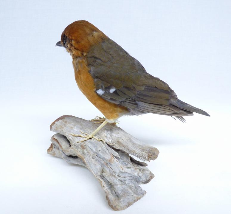 Adrian Johnstone, professional Taxidermist since 1981. Supplier to private collectors, schools, museums, businesses, and the entertainment world. Taxidermy is highly collectable. A taxidermy stuffed Orange Ground Thrush (740) in excellent condition. Mobile: 07745 399515 Email: adrianjohnstone@btinternet.com