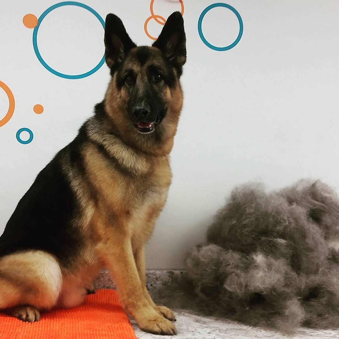Grooming deshedding is typically an add on service at most shops but we believe no dog should ever go home without being thoroughly combed out so it is included in solutioingenieria Image collections