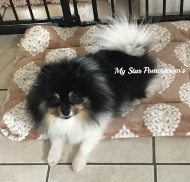 Orange/White Parti Male Pomeranian