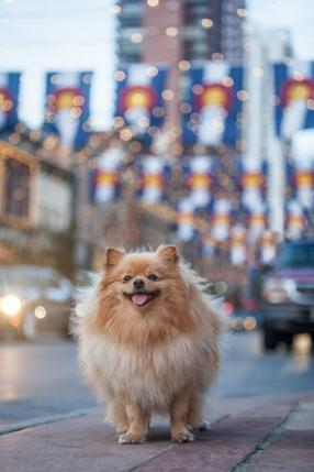 Kai the Pomeranian on Larimer St. in Denver, CO.