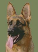 Cross Stitch Chart of a German Sheperd Dog looking front and slightly to his right