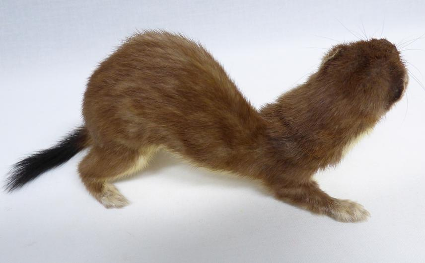 Adrian Johnstone, professional Taxidermist since 1981. Supplier to private collectors, schools, museums, businesses, and the entertainment world. Taxidermy is highly collectable. A taxidermy stuffed Stoat (561) in excellent condition. Mobile: 07745 399515 Email: adrianjohnstone@btinternet.com