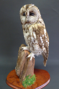 Adrian Johnstone, professional Taxidermist since 1981. Supplier to private collectors, schools, museums, businesses, and the entertainment world. Taxidermy is highly collectable. A taxidermy stuffed Tawny Owl (9557), in excellent condition.