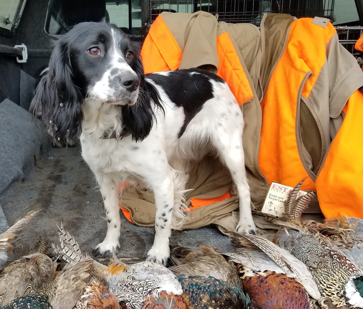 Dayridge Canine Facility - Field Bred English Springer Spaniels