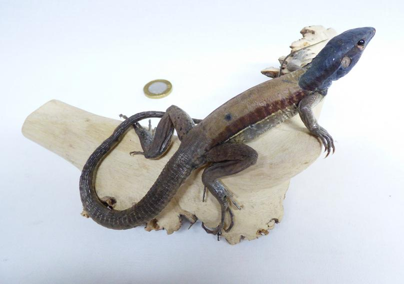 Adrian Johnstone, professional Taxidermist since 1981. Supplier to private collectors, schools, museums, businesses, and the entertainment world. Taxidermy is highly collectible. A taxidermy stuffed Monitor Lizard (579), in excellent condition. Mobile: 07745 399515 Email: adrianjohnstone@btinternet.com