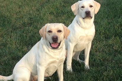 Windbrooke Labs - English Lab Puppies For Sale, White