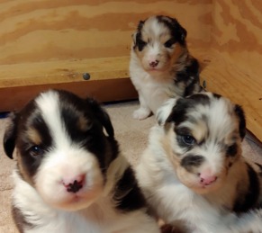 New Australian Shepherd Puppy Litter in CT