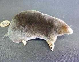 Adrian Johnstone, professional Taxidermist since 1981. Supplier to private collectors, schools, museums, businesses, and the entertainment world. Taxidermy is highly collectible. A taxidermy stuffed adult Mole (151), in excellent condition.