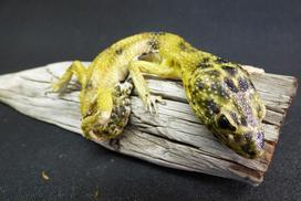 Adrian Johnstone, professional Taxidermist since 1981. Supplier to private collectors, schools, museums, businesses, and the entertainment world. Taxidermy is highly collectable. A taxidermy stuffed Leopard Gecko (26) in excellent condition.