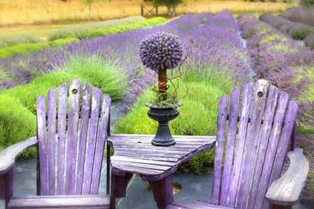 Welcome to the Evergreen Valley Lavender Farm