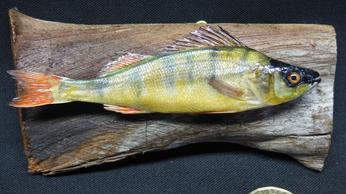 Adrian Johnstone, professional Taxidermist since 1981. Supplier to private collectors, schools, museums, businesses, and the entertainment world. Taxidermy is highly collectable. A taxidermy stuffed young Perch (10), in excellent condition.