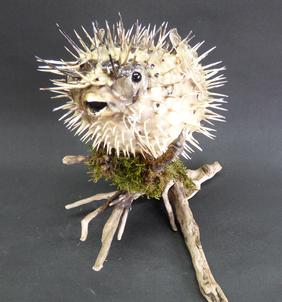 Adrian Johnstone, professional Taxidermist since 1981. Supplier to private collectors, schools, museums, businesses, and the entertainment world. Taxidermy is highly collectable. A taxidermy stuffed Pufferfish (1), in excellent condition.