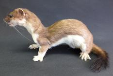 Adrian Johnstone, professional Taxidermist since 1981. Supplier to private collectors, schools, museums, businesses, and the entertainment world. Taxidermy is highly collectable. A taxidermy stuffed adult Stoat (27), in excellent condition.