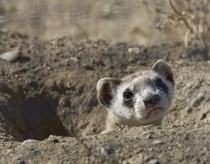 black footed ferrets and prairie dogs