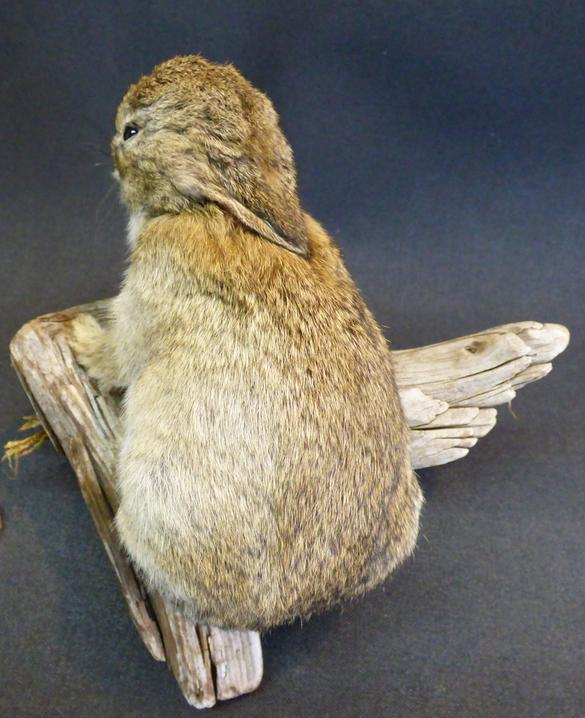 Adrian Johnstone, professional Taxidermist since 1981. Supplier to private collectors, schools, museums, businesses, and the entertainment world. Taxidermy is highly collectable. A taxidermy stuffed Baby Wild Rabbit (14), in excellent condition.