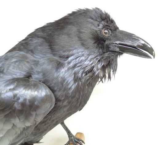Adrian Johnstone, professional Taxidermist since 1981. Supplier to private collectors, schools, museums, businesses, and the entertainment world. Taxidermy is highly collectable. A taxidermy stuffed very large Raven (9738) in excellent condition. Mobile: 07745 399515 Email: adrianjohnstone@btinternet.com