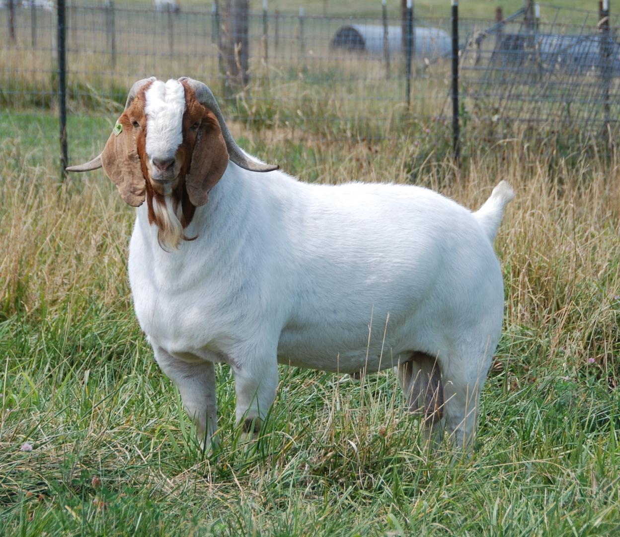 Starshine Meadows Boer Goats - Boer Goats For Sale, Boer Goat Kids