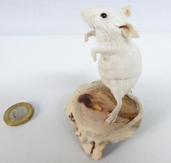 Adrian Johnstone, professional Taxidermist since 1981. Supplier to private collectors, schools, museums, businesses, and the entertainment world. Taxidermy is highly collectable. A taxidermy stuffed adult White Mouse (84) in excellent condition.