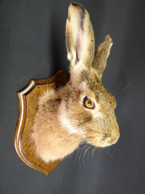 Adrian Johnstone, professional Taxidermist since 1981. Supplier to private collectors, schools, museums, businesses, and the entertainment world. Taxidermy is highly collectable. A taxidermy stuffed Hare Head Mask (no:11), in excellent condition.