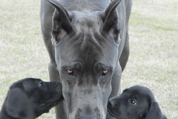 Gentle Giants Dog Rescue Illinois